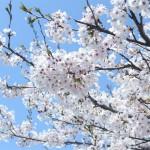 おすすめ花見名所スポット2015東京・大阪・名古屋