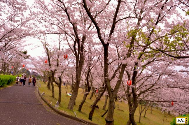 ときわ公園の桜_02