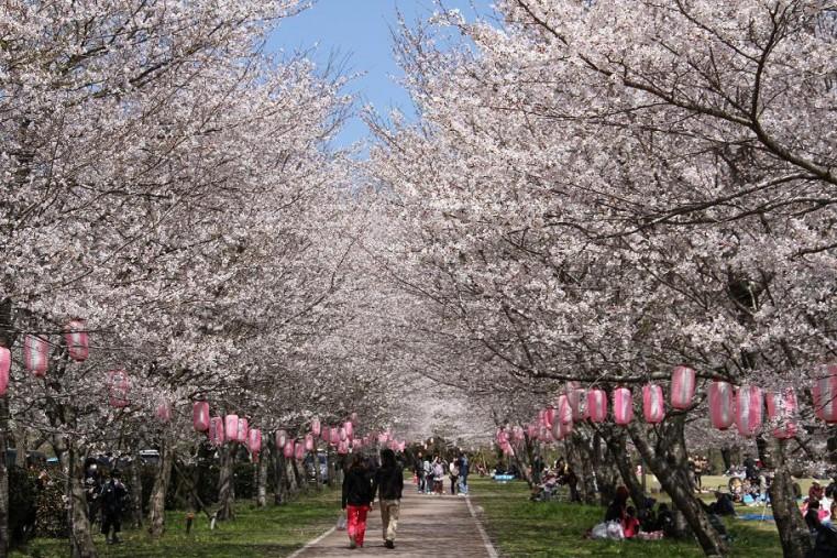 九州桜_008