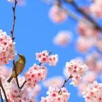 桜開花前線2016 今年の開花予想は?