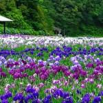 関西の花菖蒲園の名所で咲き誇る100万本が見事すぎる