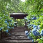 鎌倉・明月院の紫陽花(アジサイ)が見事にブルー一色