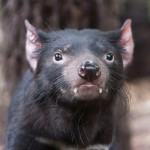 アジアで唯一「タスマニアデビル」を公開している多摩動物園
